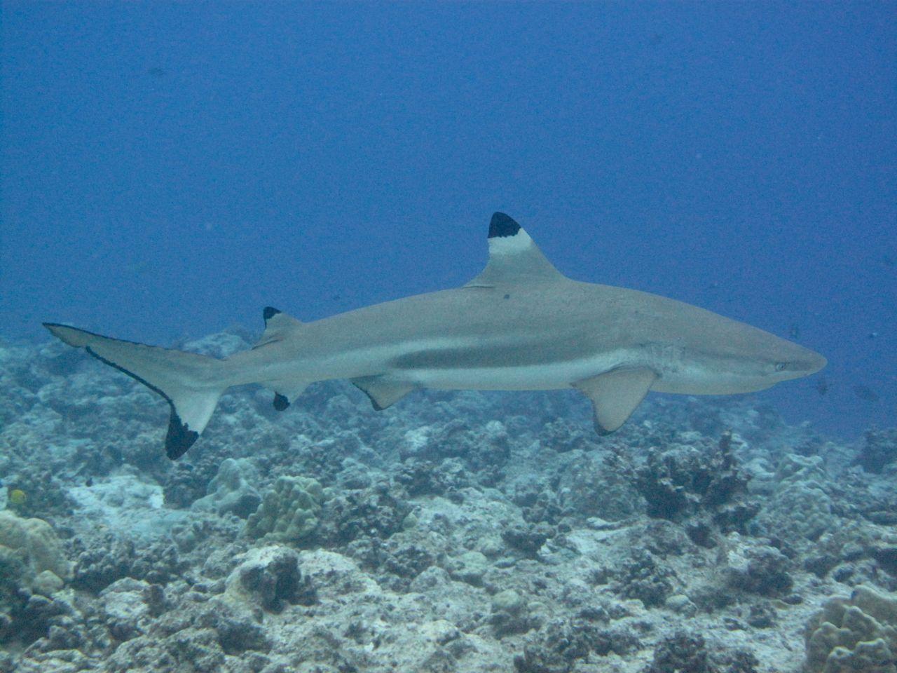 Baby black tip reef shark - photo#28
