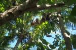 Tomek zbiera kokosy dla swojej królowej z samego czubka palmy