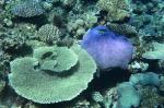 koralowce z Astrolabe Reef