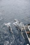 delfiny przed dziobem Katharsis