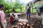 obieranie kokosów na copra