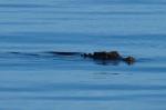 krokodyl, który odwiedził nas na kotwicowisku przy Wyspie Rendova