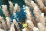 Morovo North HL, wieloszczet ukryty w koralu