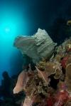 Gizo North PK, liliowce obsiadły koral