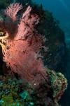 Vonavona MK, koral z liliowcami