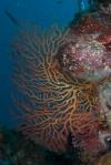 Vonavona PK, dwukolorowy koral