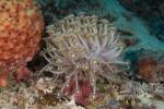 Vonavona PK, koral niczym bukiet stokrotek