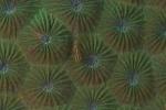 Munda HL,  minirybka na koralu