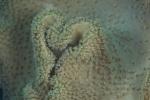 Munda HL, koralowcowe serce