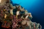 Rendova PK, skrzydlica pod kapeluszami korali