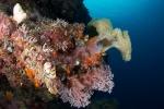 Rendova PK, ogródek koralowy