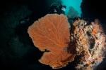 Morova South MK, fan coral z nurkiem