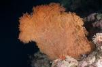 Morova South MK, fan coral