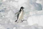 spotykamy pierwsze pingwiny adele