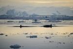 pływają wokół nas wieloryby minke