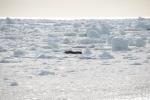 foka na lodzie przed Terra Nova