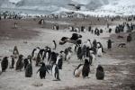wydrzyki atakujące pingwiny