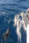 stado delfinów towarzyszy nam na Morzu Tasmana