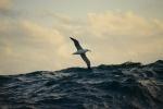 albatros szybujący nad falami