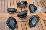 paua (abalone) wyłowione w South Arm
