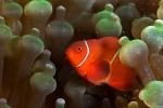 czyżby Nemo? HL