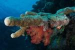 miękki koral w symbiozie z twardym PK