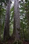 """""""Cztery SIostry"""" - drzewa kauri oparte na wspólnych korzeniach"""