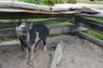 świnka, którą wytypowano na ucztę z okazji naszego przyjazdu na Logan Island
