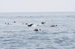 żerujące stado delfinów ZS