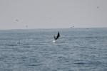 delfiny podczas połowów