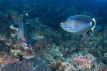 Bignose unicornfish przywitały nas na Blue Corner