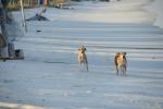 para psów strażników atolu