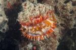 kolorowa ostryga przy Soft Coral Arch