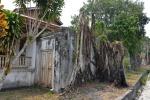 drzewa wrośnięte w stare budynki