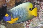 Blue-face angelfish
