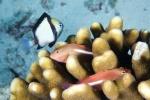 para Ring-eyed hawkfish z Damselfish