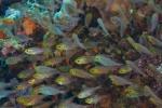 5 ławica żółtogłowych rybek