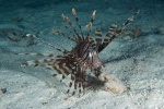 Lionfish - skrzydlica