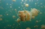 magiczne meduzy z Jellyfish Lake po raz trzeci