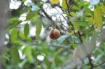 dojrzały owoc gałki muszkatołowej