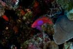 ryba głębinowa, która na Palau występuje na zaledwie 20 metrach