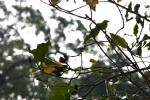 gałązka drzewa gździkowego