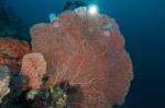Hania przy koralu na Doindong Warna Banyak