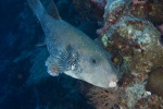 Blue-spotted puffer