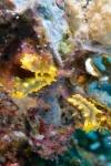 żółte małe ogórki - robust sea cucumber