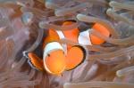 kuzyn - Nemo Western clownanemonfisch