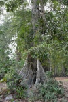 kanarecznik - kenari tree