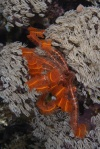 Feather star w wersji pomarańczowej