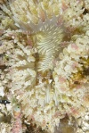Aurora host anemone ze swoimi mieszkańcami