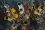 żachwy opanowały jeden z korali (Golden sea squirt)